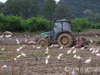 恭城:耕耘鹭鸟齐舞 人与自然和谐