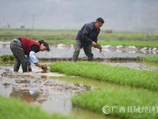 罗城:谷雨至农事忙