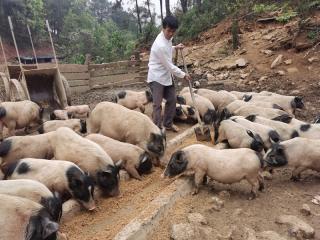 """宁明县农泽威:""""猪司令""""深山追梦奔富路"""