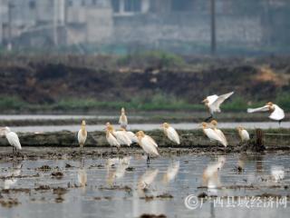 广西融安:湿地环境好 鸟儿来觅食