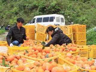 融安县:乡村发展重产业 沃柑丰收助脱贫