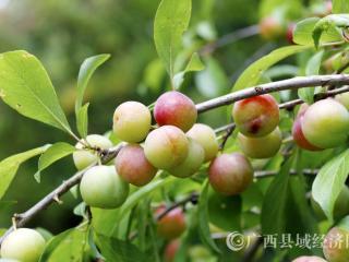 """南丹县:3个农产品喜获""""国字号"""""""