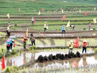 南丹:一巨幅稻田画在世界最美洼地梯田绘制完成