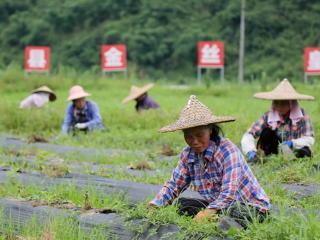 融安泗顶镇:发展特色产业 促高质量脱贫