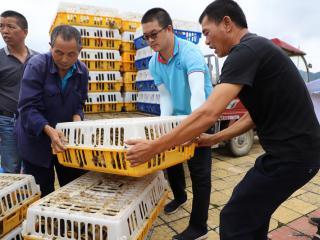 南丹县:稻鸭共养 助农增收
