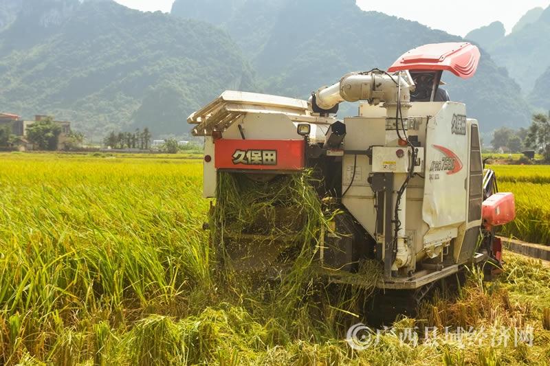宜州区:安马乡水稻喜获丰收