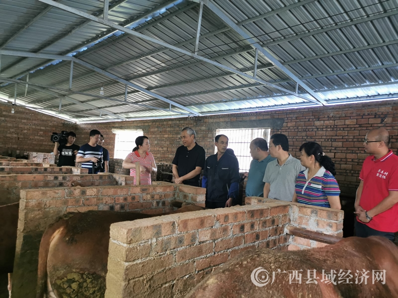 河池市长唐云舒到罗城乔善乡乔本村调研生态小黄牛散养扶贫产业
