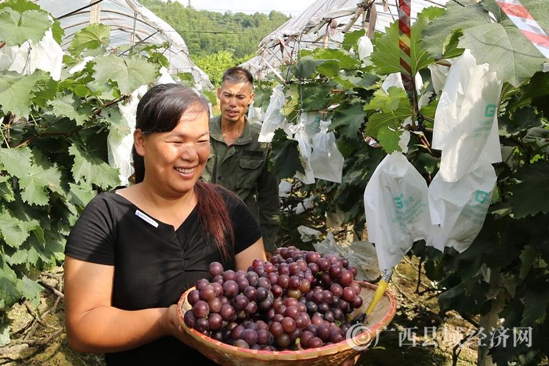融安縣泗頂鎮三坡村:紫色葡萄串串甜 脫貧生活節節高