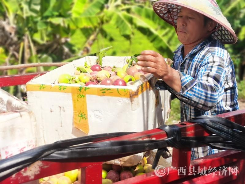 寧明縣峙浪鄉洞浪村:百香果種植示范基地助農脫貧