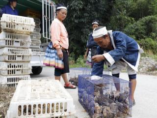南丹县:送扶贫鸡苗 添脱贫动力