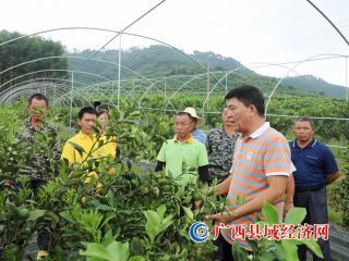 融安县:田间地头送技艺 19万亩金桔丰收在望