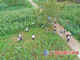 大化县:丰收季 核桃产业开始进入收益期