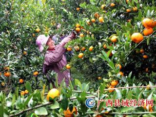 融安县:桔农庆丰收 喜摘致富果