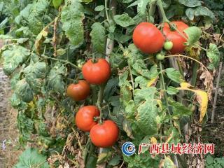融安县桥板乡:西红柿丰收 促高质量脱贫