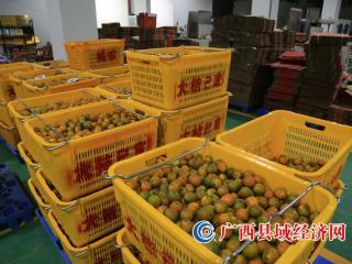 融安县:金桔丰收 供不应求
