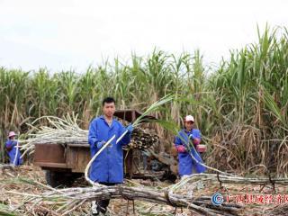 甘蔗丰收蔗农忙