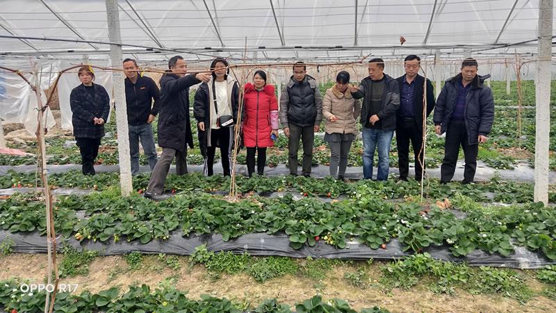荔浦市:葡萄套种草莓效益好