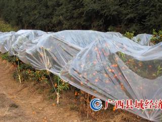 [记者调研]今冬天冷,砂糖橘销售见仁见智