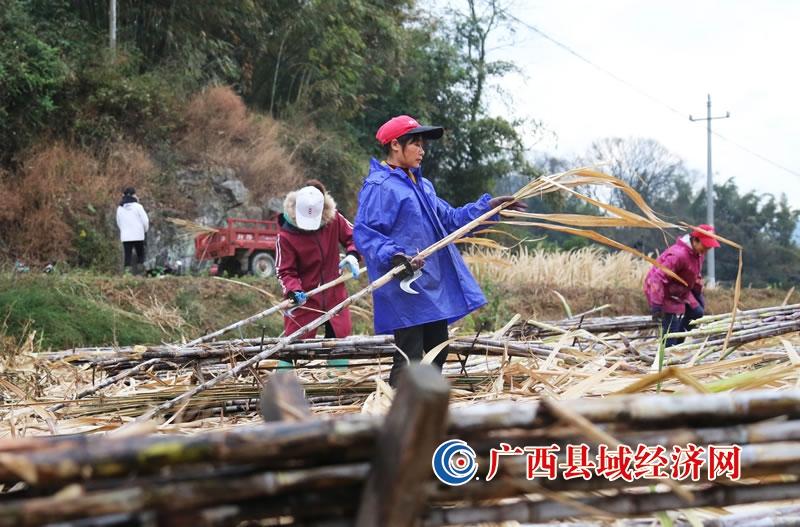 融安县:节前收蔗忙