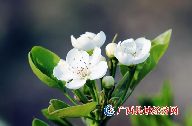 广西融安:春暖花开 梨花绽放