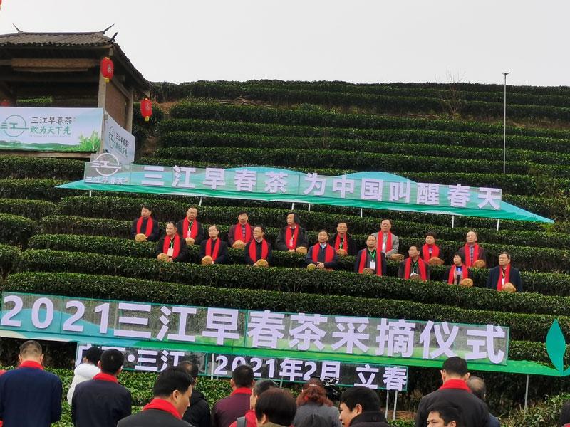 三江县:茶叶开采,打破春节后春茶上市的历史