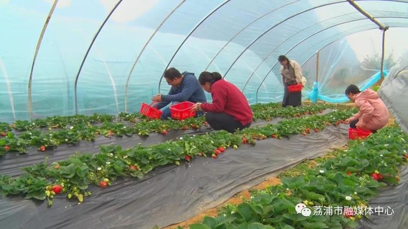 荔浦市:双江草莓吸引游客 特色产业促农增收