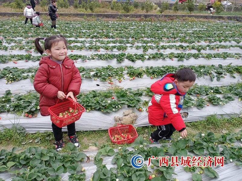东兰江平村:草莓迎丰收 游客喜摘购