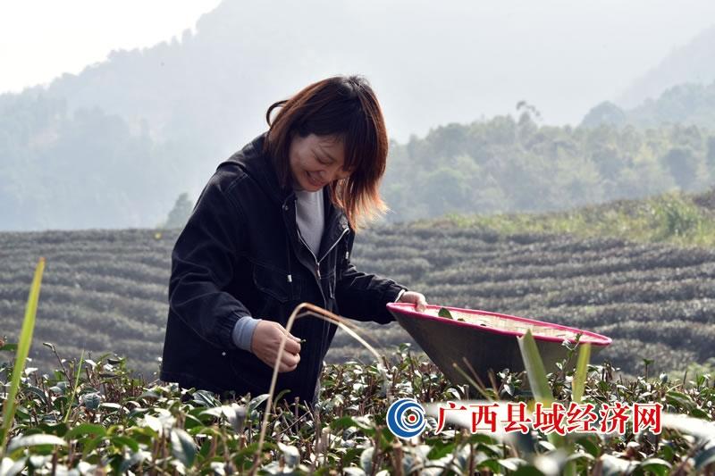 宁明县东安乡:茶香飘富路 产业兴乡村