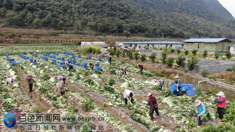 田阳区:蔬菜基地工人采摘忙