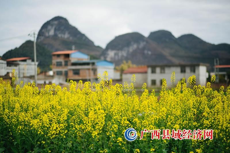 宜州区安马乡:数百亩油菜花盛开