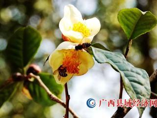 广西河池:山茶花开迎春来