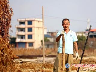 融安县:淮山种植成当地群众巩固脱贫重要产业