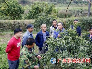 融安县:技术培训到地头 金桔助农保增收