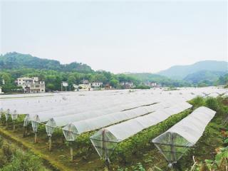 从山乡蝶变看产业兴村 毛竹山的葡萄别样甜