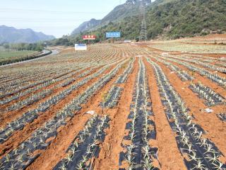 宁明县:三举措打造坚果凤梨示范基地推动乡村振兴