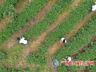 融安县:明前采茶供市场 茶香四溢助增收