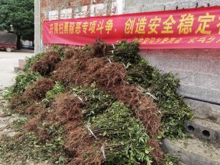 宜州区安马乡:发展花椒产业 助推乡村振兴