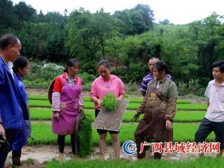 恭城瑶族自治县三江乡:推广抛秧技术   提高黑米产量