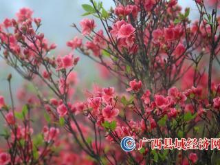 广西融水:雾里赏花迎立夏