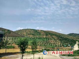 """鹿寨县:""""鹿寨蜜橙"""" 村级集体经济的""""摇钱树"""""""
