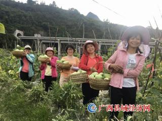 凌云:黄瓜丰收农民乐