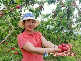 天峨:万亩油桃丰收结满树 鼓起群众致富钱袋子