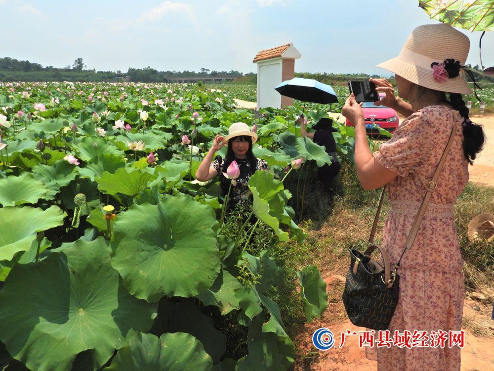 宁明县:千亩荷花美如画   八方游客争相夸