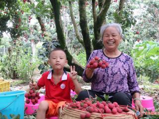 广西百年老树荔枝售价高达100元/斤