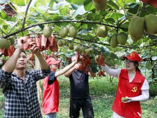 廣西融安:百畝獼猴桃喜獲豐收