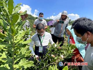 宁明:人大代表考察取经   发展坚果乡村振兴