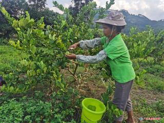 广西宁明县:小小柠檬香四季,农民种植促增收