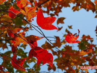 宁明:秋天的色彩