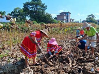 恭城虎溪莲藕成为乡村振兴主导产业